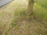 Maaischade bij straatbomen.